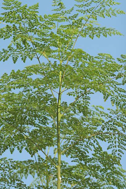 arbre moringa composition valeurs nutritionnelles