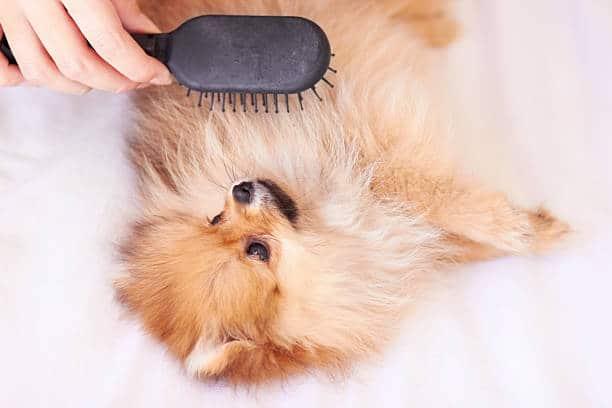 huile de coco chien brossage poils naturel