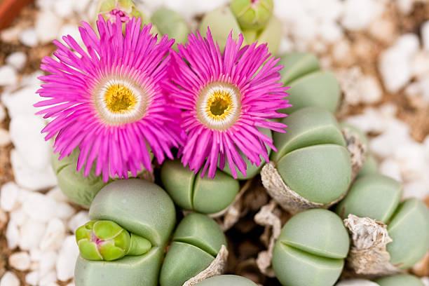 argyroderma - plante grasse liste