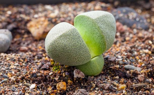 Pleiospilos plante grasse liste