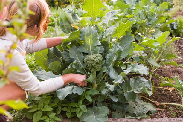 arrosage potager brocoli conseil astuce