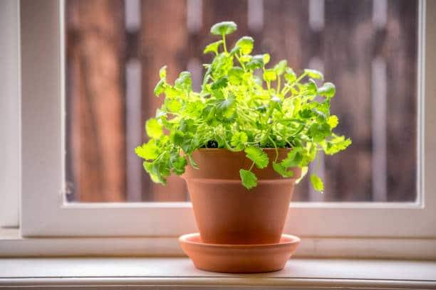 coriandre jardin aromatique plante cuisine