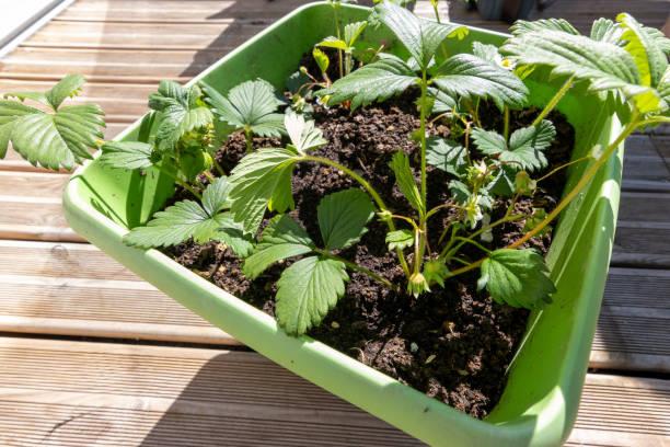fraise pot jardin suspendu potager maison balcon