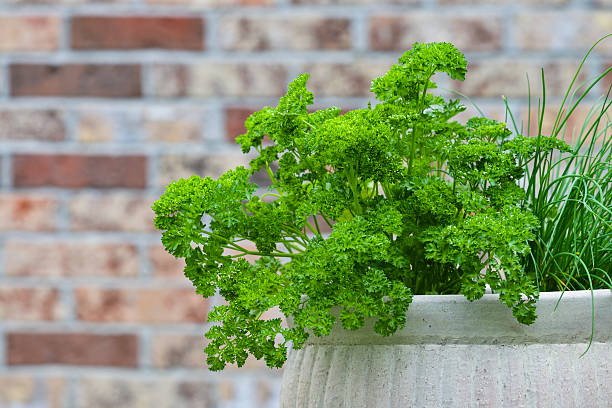 jardin aromatique herbe persil frais cuisine petit balcon