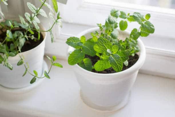 jardin aromatique menthe en pot pousse facilement