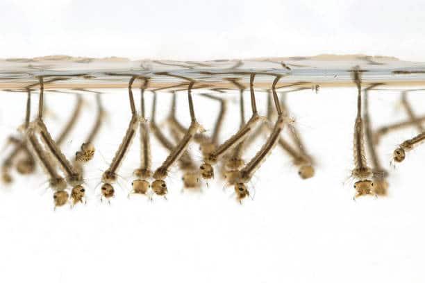 larves moustiques jardin infesté