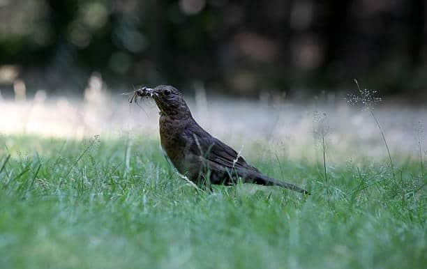 oiseau mangeur de moustiques au jardin