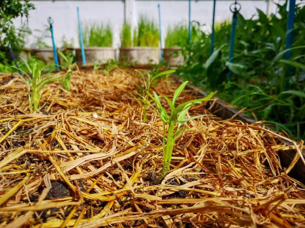 paillage potager permaculture sol lasagne bio