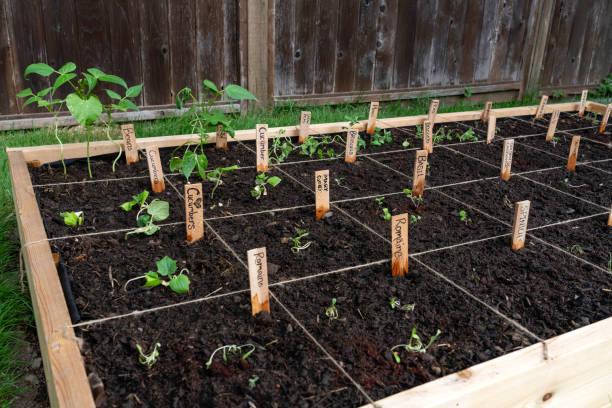 plantes amies et ennemies au potager comment faire ? compatibilité végétale