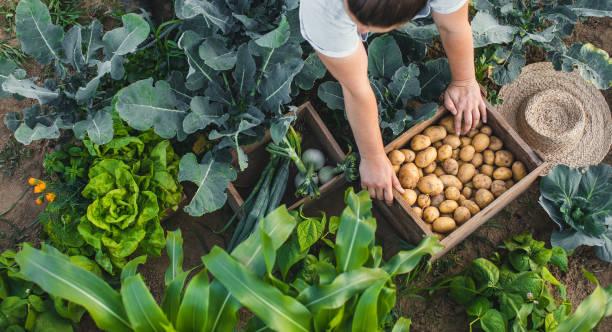 plantes amies et ennemies au potager légumes pomme de terre