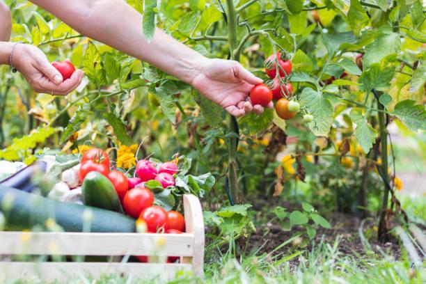 recolte potager permaculture jardin bio