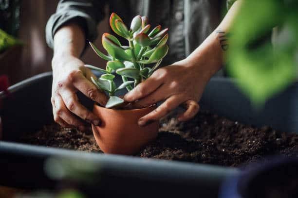 rempoter plante grasse entretien quotidien conseil astuce