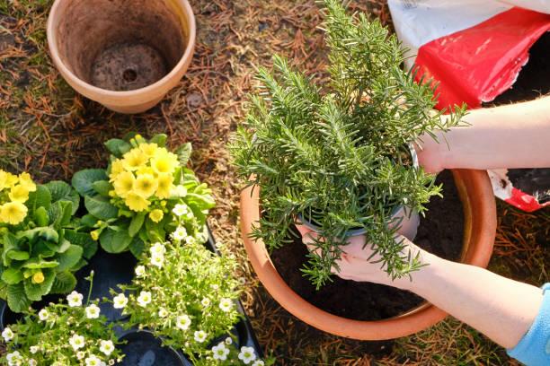 romarin herbe aromatique jardin
