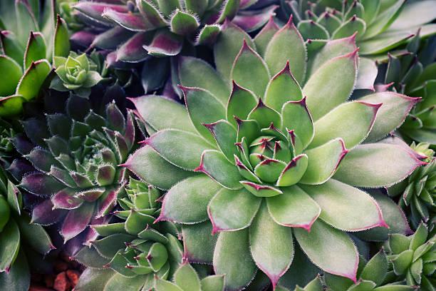 Sempervivum plante grasse liste