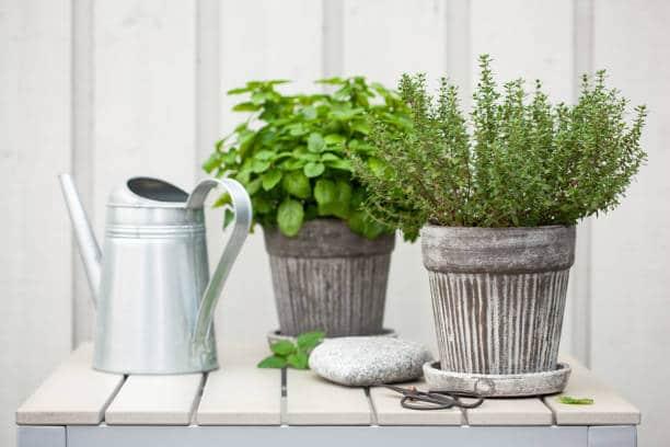 thym jardin aromatique herbes fraiches