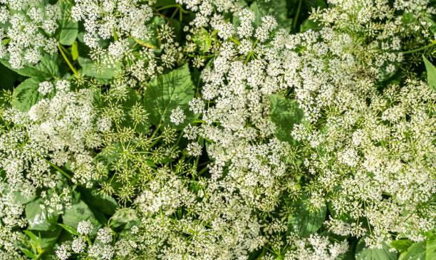 chataigne de terre fleur - Conopodium majus