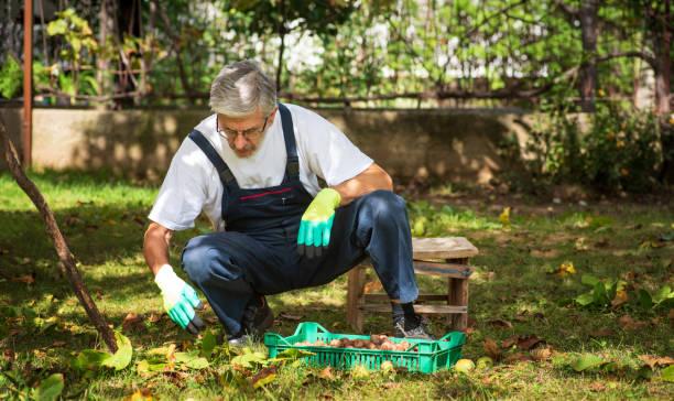 récolte noisette de terre jardin